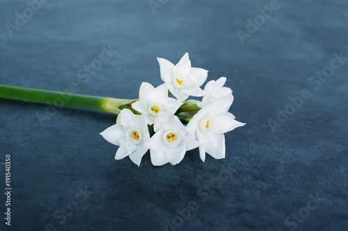 Single stem of delicate white narcissus flowers