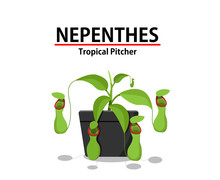 Green Nepenthes Plant In Pot I...