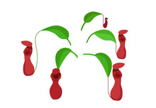Red Nepenthes Leaf Isolated On...