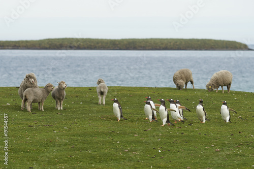 Gentoo Penguins (Pygoscelis papua) pass a group of sheep as they walk back to their colony across the green grass of Bleaker Island in the Falkland Islands.