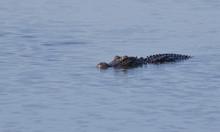 Isolated American Alligator La...