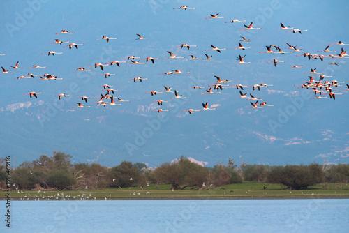 Flamingoes at lake kerkini