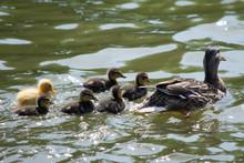 Family Of Ducks With Single Ye...