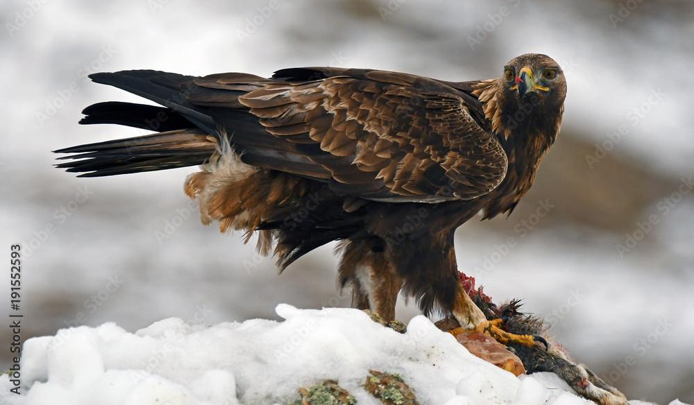 Aguila real macho con una presa en la nieve