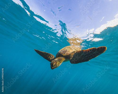 In de dag Schildpad Hawaiian Green Sea Turtle