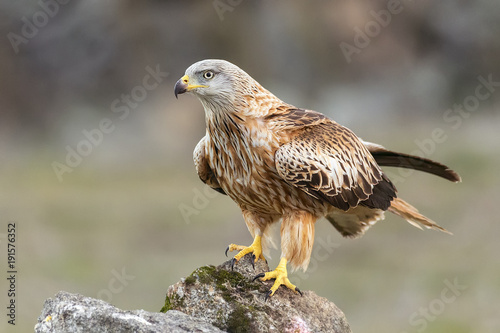 milvus milvus, red kite