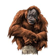 Orangutan Sits On Tree Stump S...