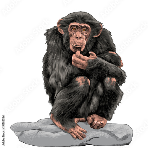 Photo chimpanzee sitting on a rock and scratches his chin sketch vector graphics color
