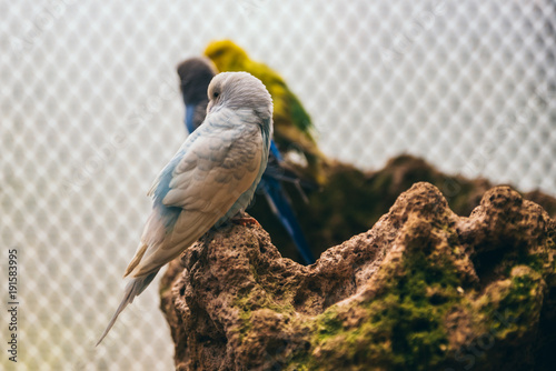 Leinwand Poster White and baby blue budgie standing on a rock in an aviary