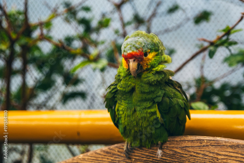 Fotomural Puffy green, yellow and red parrot in an aviary