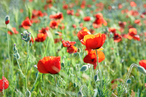 Fototapety, obrazy: Red flowers poppies on field with green grass