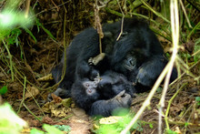 Loving Embrace Of Mother And Child Mountain Gorilla In Jungle.