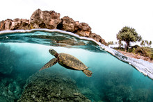 Beautiful Green Sea Turtle Swimming In Tropical Island Reef In Hawaii, Split Over/underwater Picture