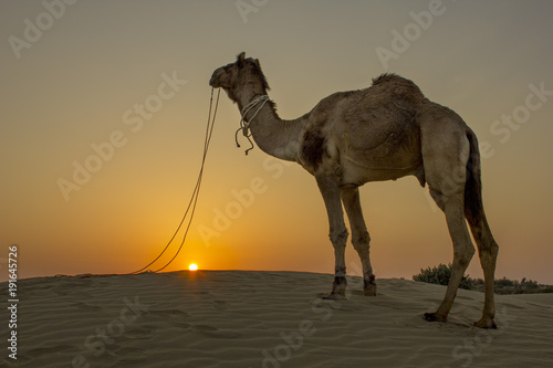 Spoed Fotobehang Kameel A camel with a desert sunset in the background