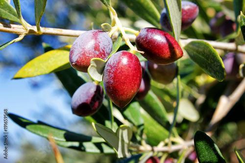 Koroneiki olives, olive grove in Kalamata, Peloponnese, Greece. Wallpaper Mural
