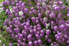 Floral Alyssum Background Of Lilac And White Flowers.