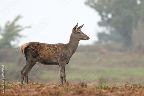 Obraz na plátne  Red Deer Hind (Cervus elaphus)/Red Deer Hind at the edge of a forest on a misty