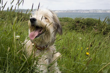 Shaggy Dog Resting In A Grass ...