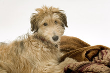 Cute Young Lurcher Puppy Dog B...