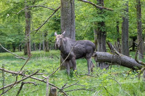 Fotografie, Obraz  Eine Elchkuh steht im frei Wald