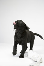 Young Black Labrador Puppy Licking Its Lips After A Treat