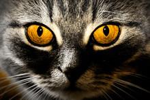 Beautiful Yellow Golden Cat Eyes