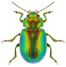 Leaf Beetle Chrysolina Gramini...