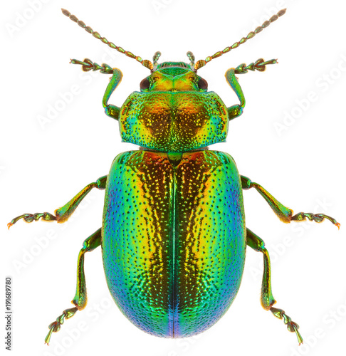 Leaf beetle Chrysolina graminis isolated on white background, dorsal view of beetle Fototapeta