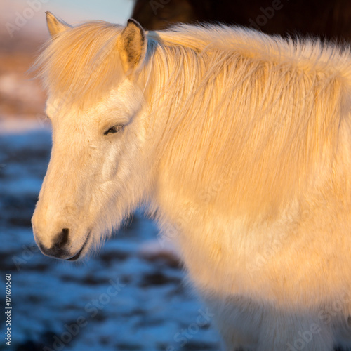 Portrait of beautiful white icelandic horse under natural sunrise light.