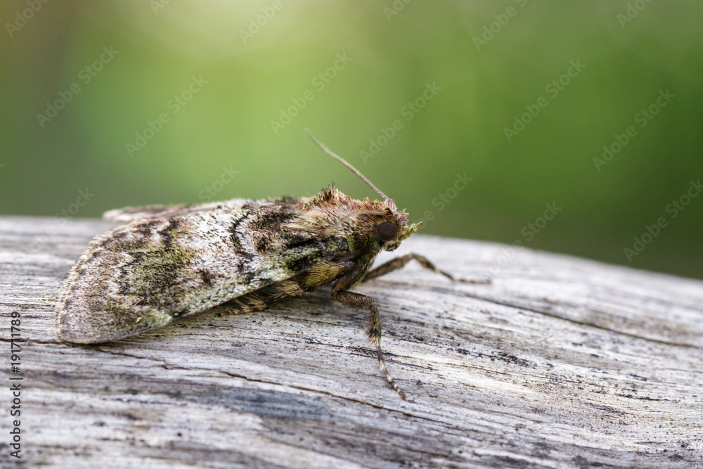 Image of Brown Moth (Nannoarctia tripartita) on tree. Insect. Animal.