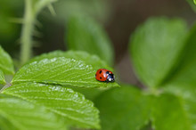 A Close Up Of A Ladybird In A ...