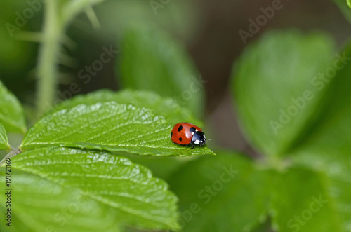 A close up of a Ladybird in a cottage garden Canvas Print