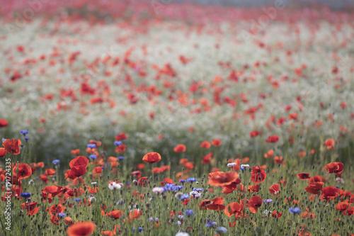 Foto op Canvas Koraal Wonderful poppy field