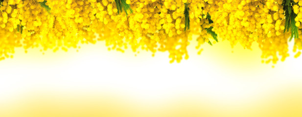 Panel Szklany Mimosa flower bloom panoramic background. Greeting card template. Shallow depth. Copy space