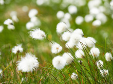 A Close Up Of Cotton Grass Flo...