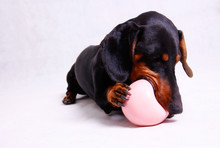 A Dachshund Dog Playing With A...