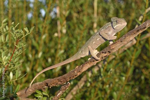 Basiliskenchamäleon (Chamaeleo africanus) - african chameleon