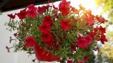 Petunia From Of South American Origin