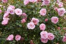 Profuse Pink Bush Roses Flower...