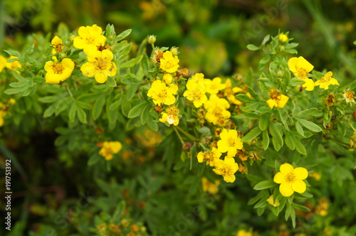 Fotografia, Obraz  Potentilla fruticosa goldfinger yellow flower with green