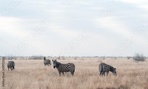 Wall Murals Africa zebre