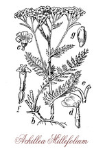 Vintage Engraving Of Achillea Millefolium Or Yarrow , Flowering Plant Used In Landscaping And In Traditional Medicine As Astringent.