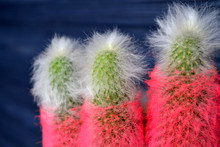 Pink Cactus On The Dark Background. Bright Cactus. Abstract Background.