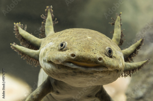 Fototapeta Axolotl Mexican detail on head. obraz