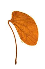 Bauhinia Aureifolia Leaves