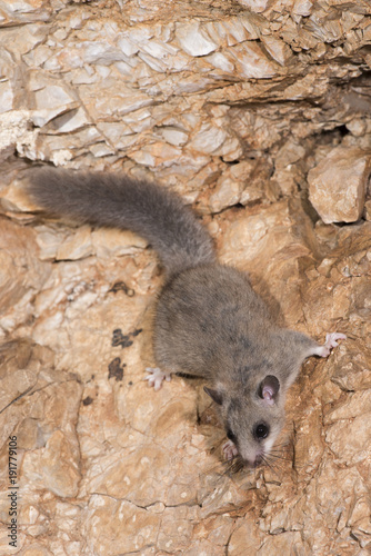 Siebenschläfer (Glis glis) - Edible dormouse Wallpaper Mural