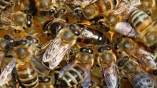 Queen Bee Does Not Lay Eggs Co...