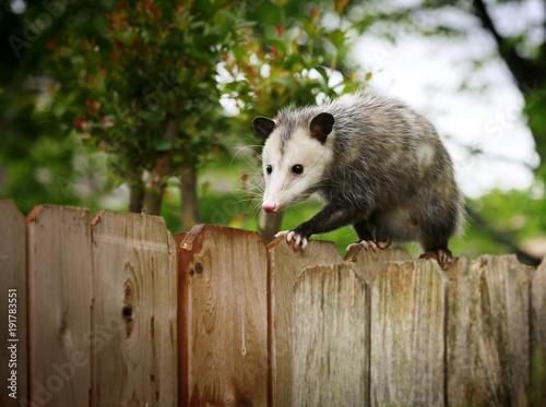 Common Opossum walking on new backyard fence