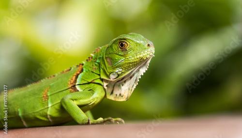 maly-zielony-iguana-zblizenie
