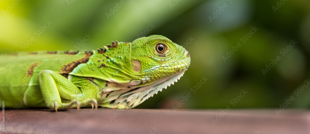 Fototapeta Small Green Iguana Closeup